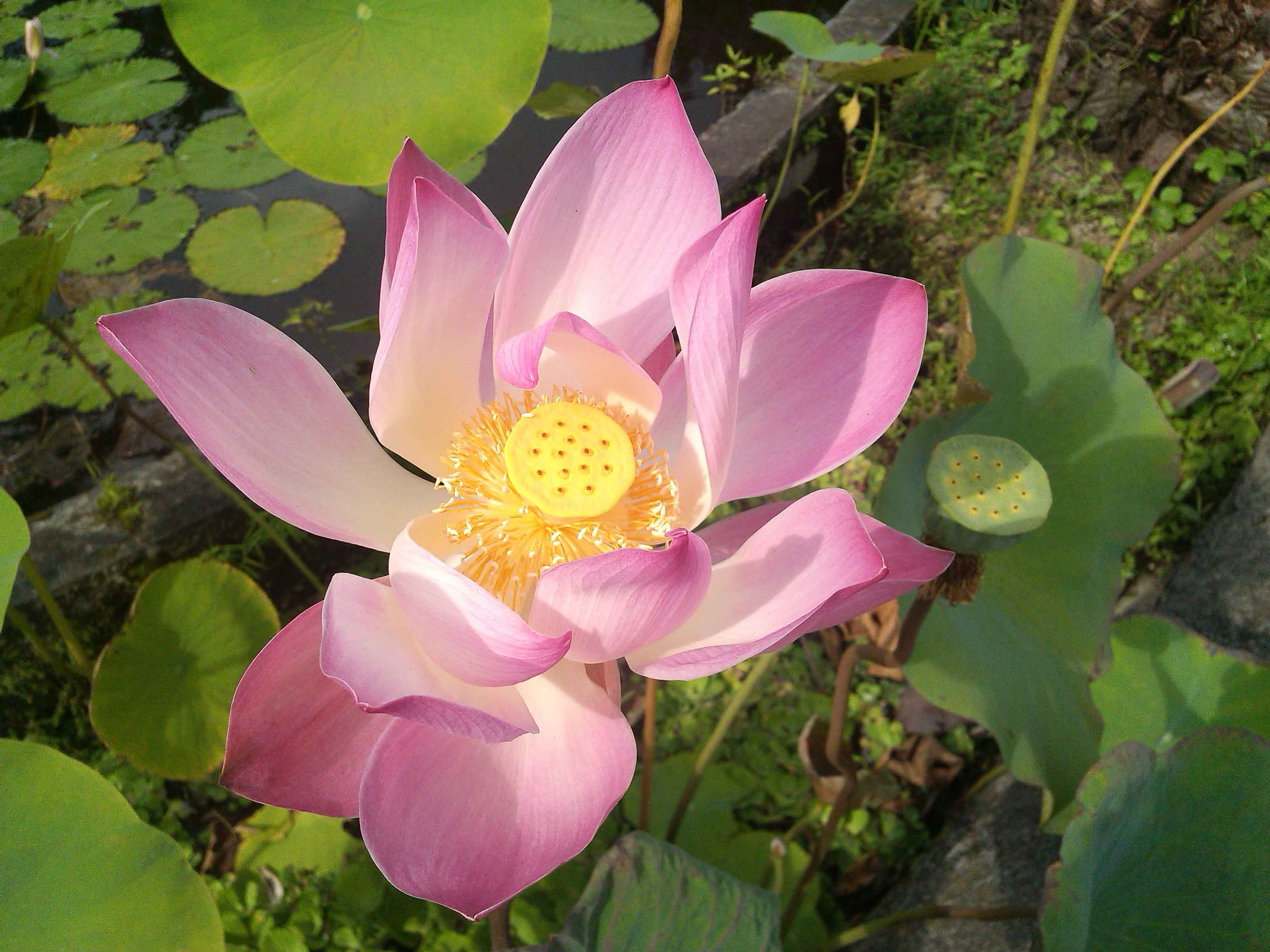 tirta-gangga-lotus-flower-holy-bath-amed-balidiversity