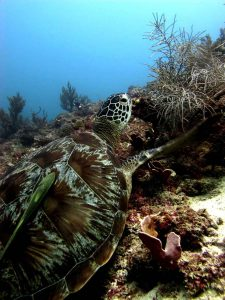 The Coral Triangle shelters 6 of the 7 marine turtles in the world